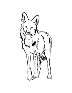 """Coyote illustration from RYAN! Feddersen's """"Coyote Now Epic."""""""