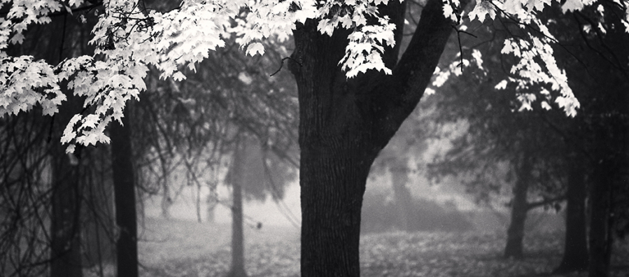Image of a tree with pale leaves against the backdrop of a misty stand of other trees.